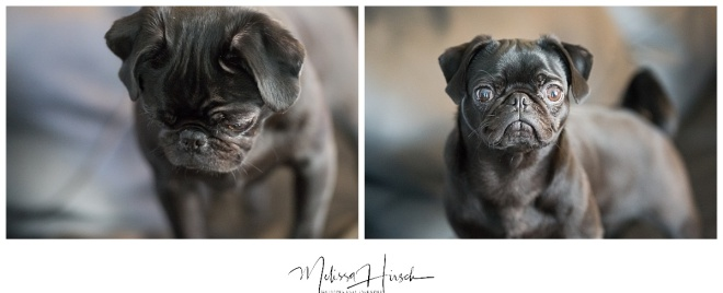 black pug puppy denver wedding photograpehr